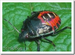 Stink Bug Photograph